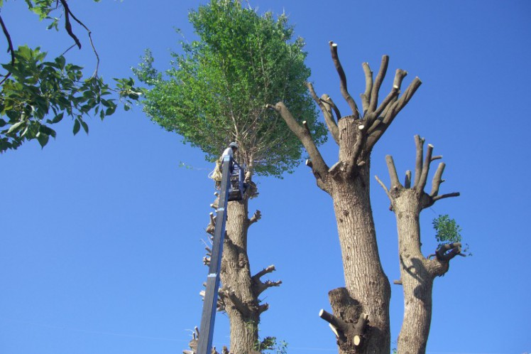 高木伐採作業